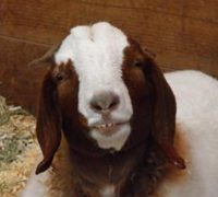 Picture of a smiling goat!.